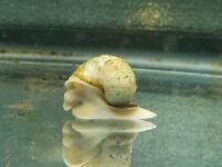 20 Ivory Snails Live Freshwater Aquarium Snail Fresh Water [LOT OF 5]