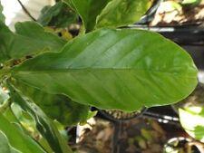 Chacruna ( Psychotrisa viridis ) * 10 seeds *