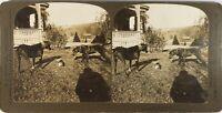 USA ETATS-UNIS Chiens Animaux, Photo Stereo Vintage Argentique PL60L103