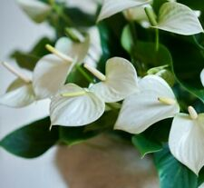 50pcs.Seed.Anthurium white.Bonsai.Pot.Flowerbed.For the house.Garden's.Balcony.