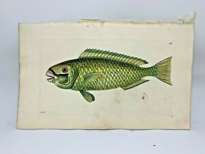 Green Scarus Fish - 1783 RARE SHAW & NODDER Hand Colored Copper Engraving