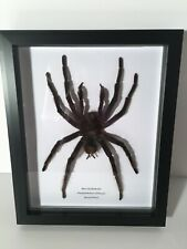 More details for giant blue leg birdeater (pamphobeteus antinous) huge spider box frame insect