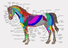 A4 Veterinary Poster – Muscles of the Horse (Animal Anatomy Picture Pathology)