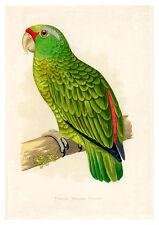 Festive Amazon Parrot by WT Greene A3 Art Print