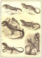 LIZARD.Skink Lacerta ogilis Varanus Zonurus cordylus Agama colonorum gecko 1907