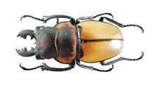 Coleoptera Lucanidae Odontolabis sommeri sommeri (mesodonte) 43mm Dried Beetle