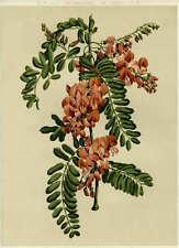 c.1870 COLOUR BOTANICAL CHROMO - DAUBENTONIA MAGNIFICA