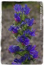 Echium vulgare 'Viper's Bugloss' [Ex. Hertfordshire, England] 200+ SEEDS