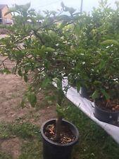 Citrus reticulata mandarinier Mandarinenbaum Gesamthöhe ca. 1,40 m Freiland