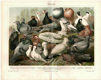 Lithografie: Tauben Original 1897 no copy Lithograph Druck Bild Ornithologie RAR