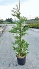 Cipresso da Siepe - Cupressocyparis Leylandii h40/60cm vs 18 (24 piante)