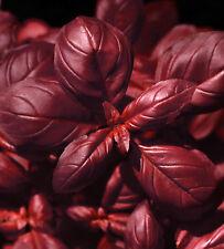 🌿 100 Samen rotes Basilikum Freddy Ocimum basilicum