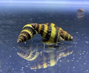 """3 Assassin Snails (Clea Helena) 1/2"""" to 3/4"""" Live Freshwater Snail Plants"""