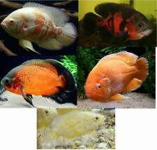 Live 5 pack Mixed Oscar Cichlids for fish tank or aquarium