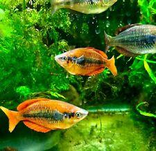 Live tropical fish Sunset Rainbow fish (M. Parva) Ten for $90
