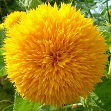 SUNFLOWER TEDDY BEAR VERY RARE 15 SEEDS