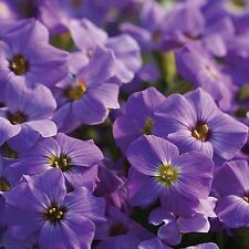 Flower Seed: Aubrietia Blue Shades 40 Seeds  Fresh Seed FREE Shipping