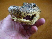 """(G-Def-139) 5-1/8"""" Deformed Gator ALLIGATOR Aligator HEAD teeth TAXIDERMY gators"""