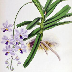 VANDA CŒRUESCENS - 1888 HAND-COLORED FITCH / WARNER ORCHID