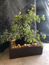 Mimosa bonsai tree just remove the front branching and just wait to see it