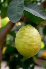 Ponderosa Lemon Tree Live Plant