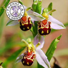 Rare Flower Bee Orchid Flower 5 seeds UK SELLER