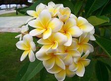 100 seeds Home Garden Frangipani PLUMERIA Rubra Lei Egg Flower Seeds