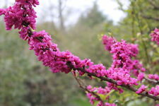 CERCIS CHINENSIS 25 Semi 25 Seeds Chinese redbud
