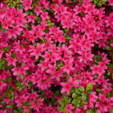 Azalea / Rhododendron 'Anne Frank' 20-30cm Tall In 2L Pot, Blanket Of Colours