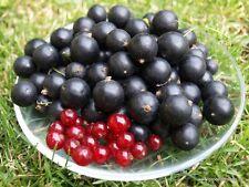 Titania + Rovada- Black + Red Currant - 2x5 fresh cuttings.
