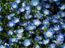 Baby Blue Eyes- 200 Seeds - - Bogo 50% off Sale