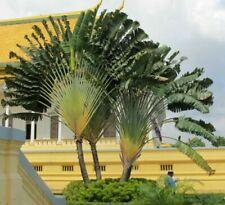 Baum der Reisenden so eine Palme hat nicht jeder - wie ein riesen Fächer - Samen