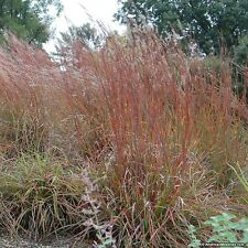 Little Bluestem Seeds - Schizachyrum Scorparius -Popular Native Grass- 100 Seeds
