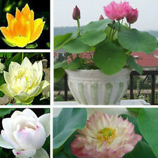 10Pcs Lotus Nymphaea Asian Water Lily Pad Flower Pond Seeds potted flowers MACA
