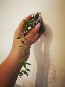 Hoya engleriana rare  plant house plant waxplant
