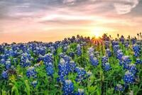 Texas Bluebonnets at Sunset Photo Art Print Poster 24x36 inch
