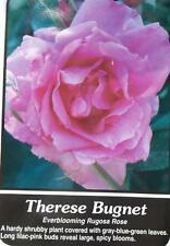 Therese Bugnet Lilac-Pink Rose 2 Year Live Bush Plants Shrub Plant Fine Roses