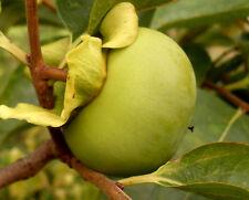 Kaki, Diospyros kaki, orange süße Früchte, Sharonfrucht,winterhart bis  ca. -15C