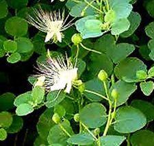 ALCAPARRA - capparis spinosa. 1000 Semillas - Seeds.