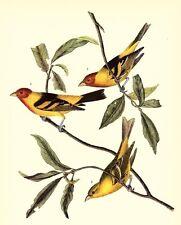 JOHN JAMES AUDUBON 1937 BookPrint WESTERN TANAGER Art Birds of America Painting