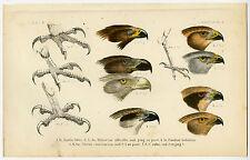 Antique Print-BIRDS OF PREY-EAGLE-HARRIER-PL. 2-Schlegel-1878