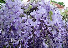Blauregen-Wisteria-Glyzine floribunda 'Blue Dream' 40/60 cm