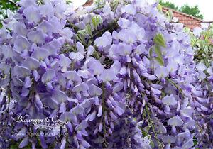 Blauregen-Wisteria-Glyzine floribunda 'Blue Dream' 80/100 cm