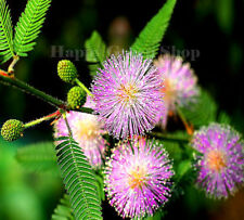 SENSITIVE PLANT- 120 SEEDS - Touch-me-not - MIMOSA PUDICA