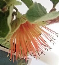 Diplolaena dampieri in 75mm supergro tube native plant