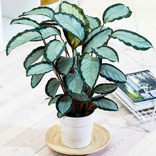 30-40cm Potted Calathea picturata 'Argentea' Silver Variegated Indoor Houseplant