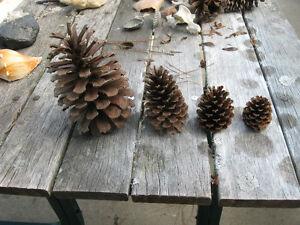 Pine Cones from North Carolina, ALL Sizes, Price per Dozen, Specify Open/Closed