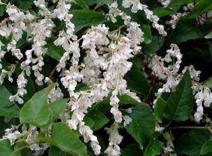 Fallopia baldschuanica Mile a Minute Vine Young Plant 9cm Pot x 3 Plants/ Pots