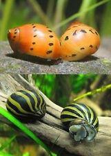 4 Nerite Snails 2 Tiger 2 Zebra Live Freshwater Aquarium Snail