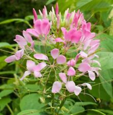 F0814 Cleome Queen Pink x50 seeds Very Showy Spider Flower